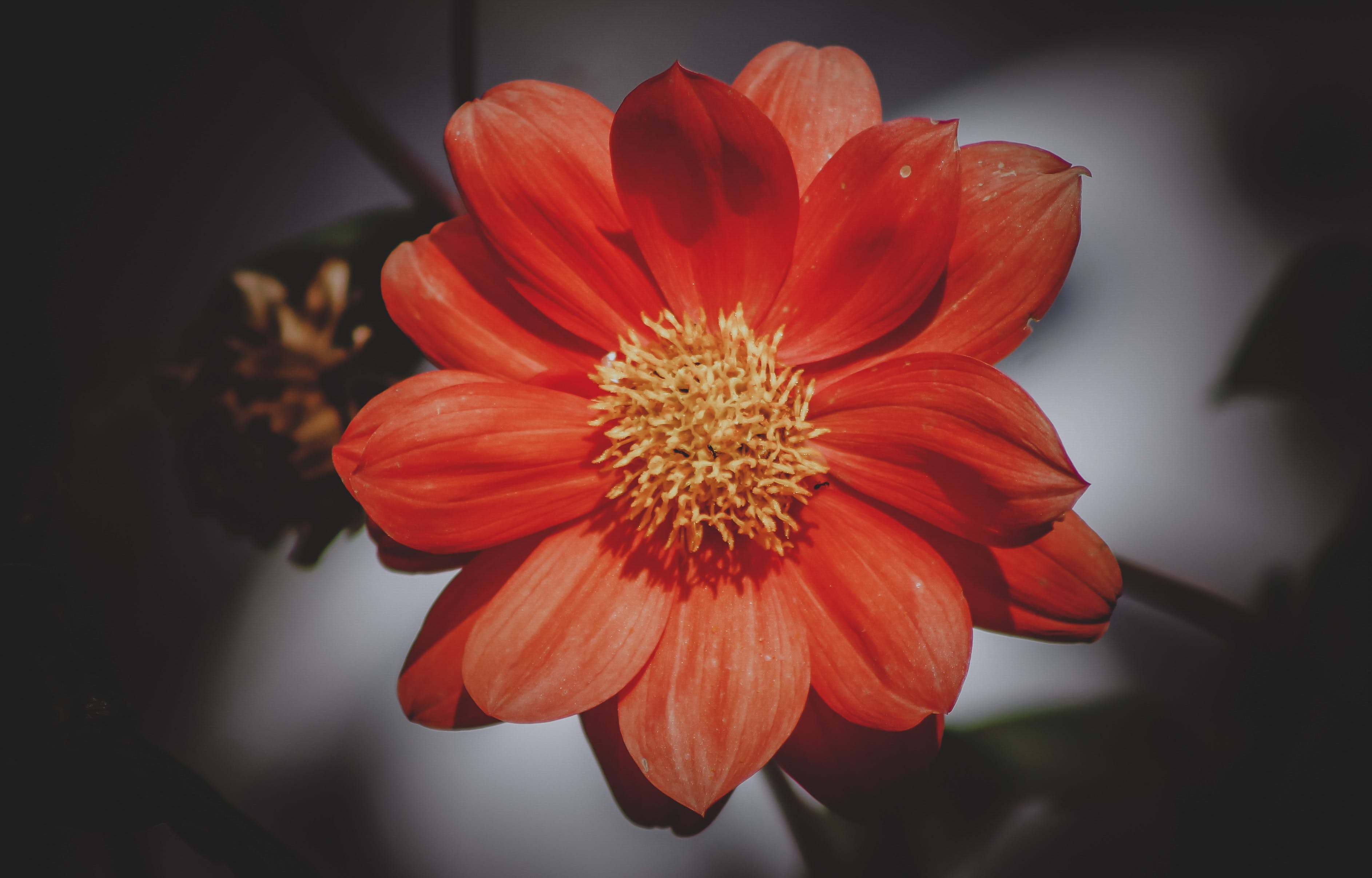 High Angle Photography of Red Daisy Flower