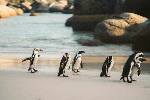 A Waddle of Penguin Walking on the Seashore