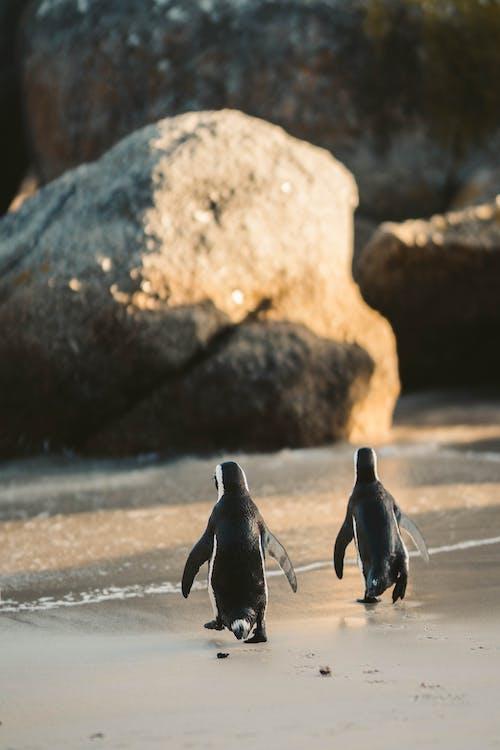 Penguins Walking on a Beach
