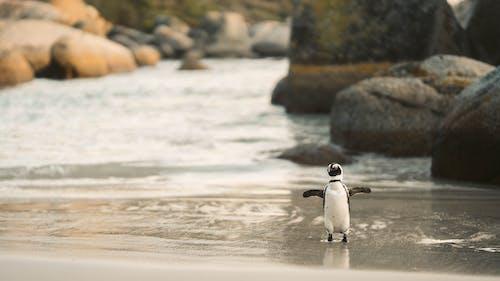 An African Penguin on the Beach