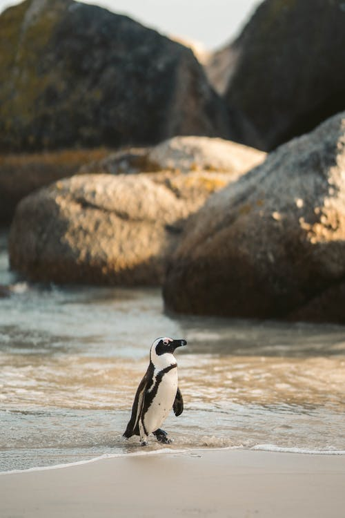 Δωρεάν στοκ φωτογραφιών με ακτή, αφρικανικός πιγκουίνος, ζώο