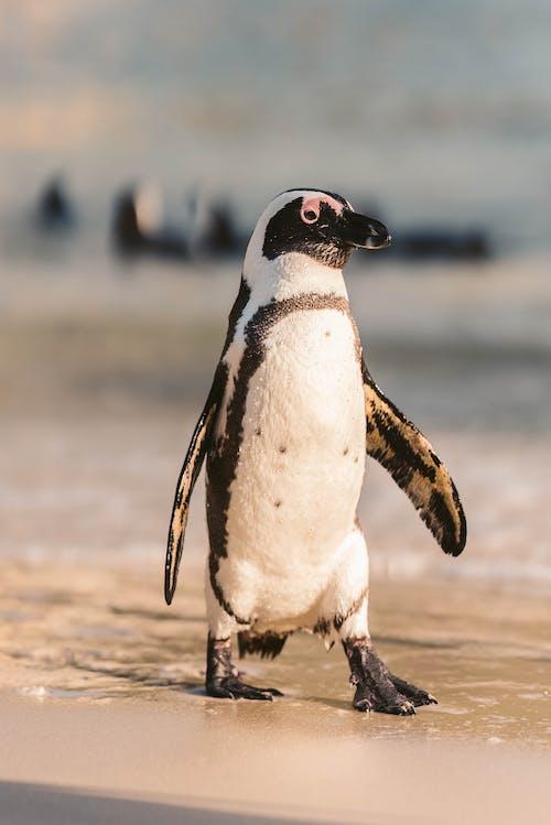 A Close-Up Shot of an African Penguin