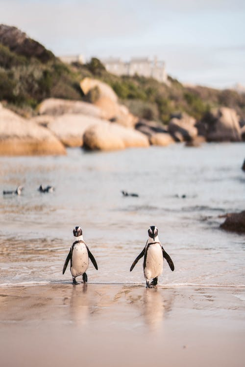 African Penguins on the Beach