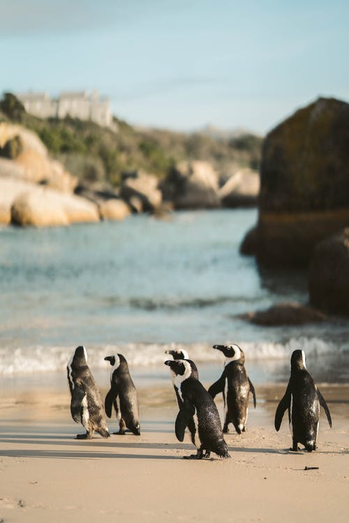 A Flock of African Penguins on a Shore
