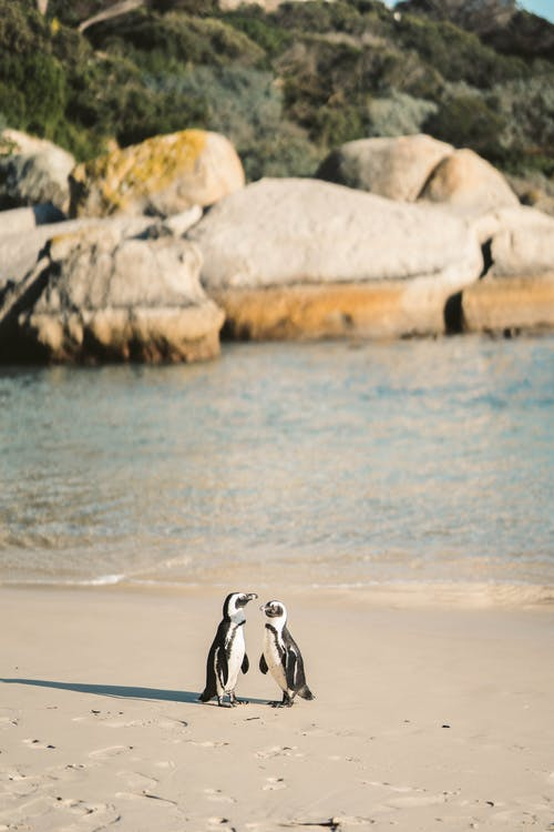 African Penguins on a Shore