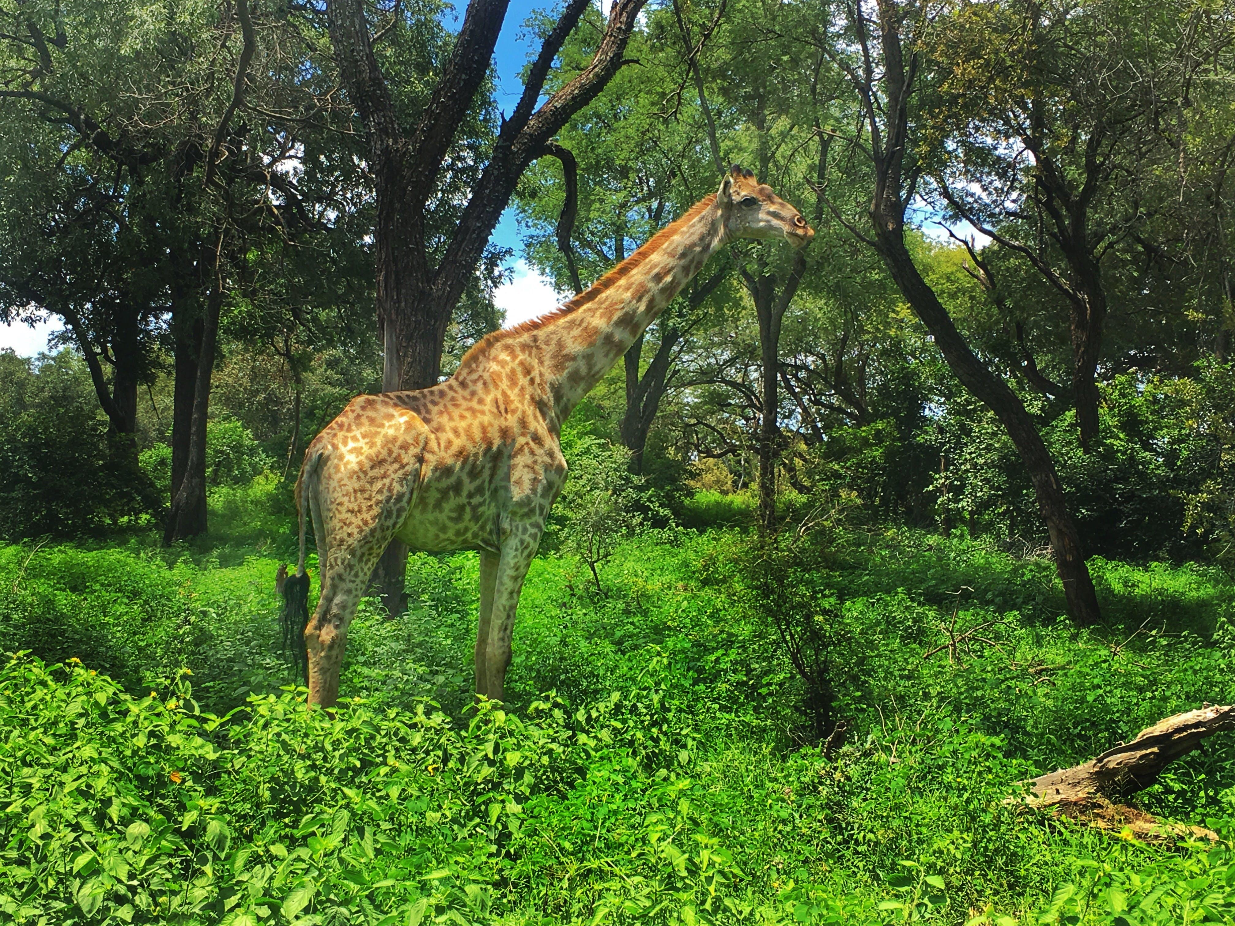 Free stock photo of africa, giraffe, Livingstone, trees