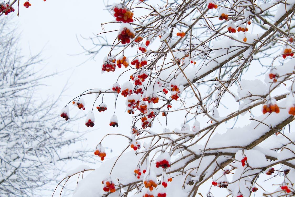 ağaç, buzlu, dallar