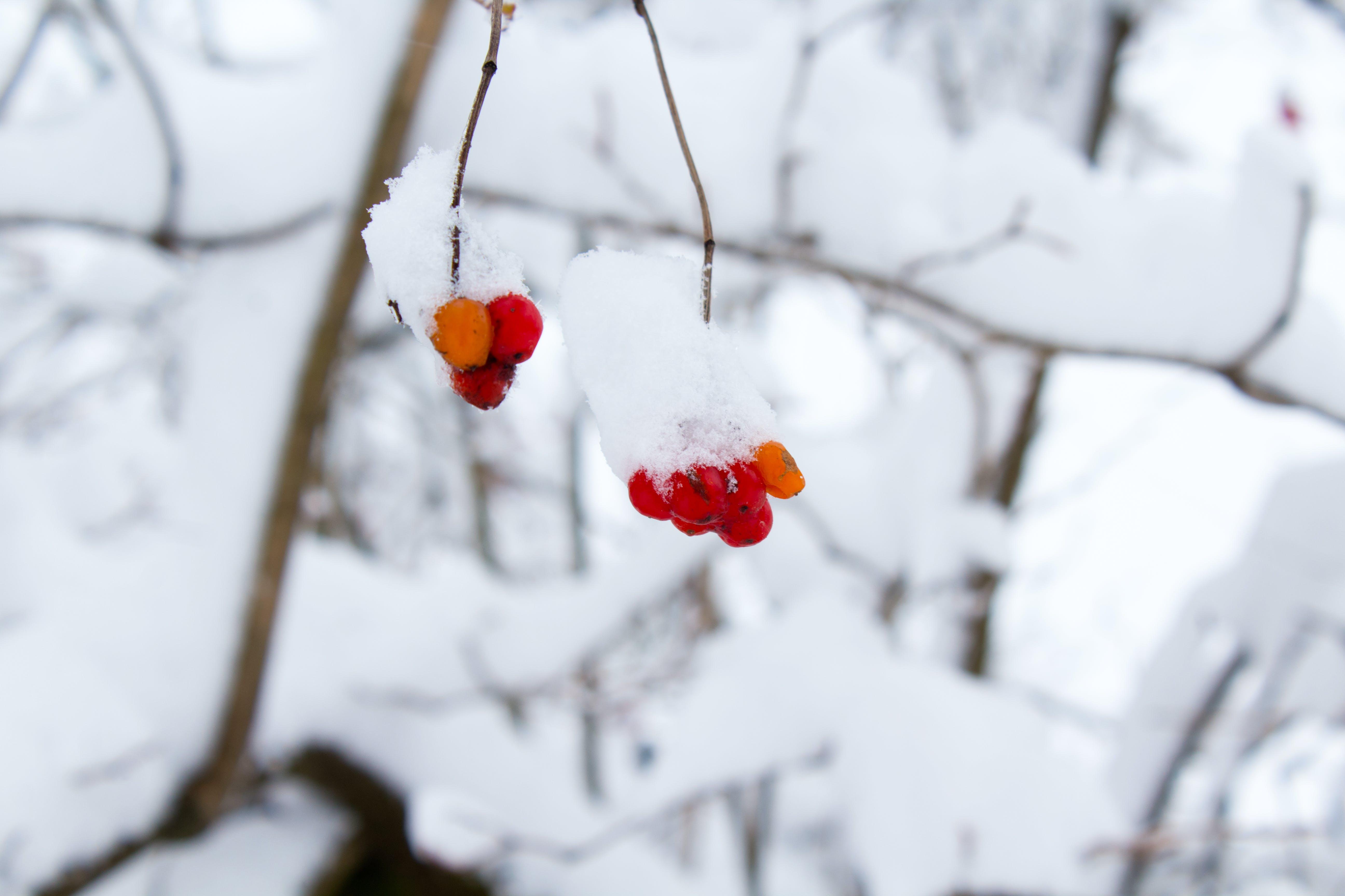 Foto profissional grátis de bagas, coberto de neve, com frio, frutas