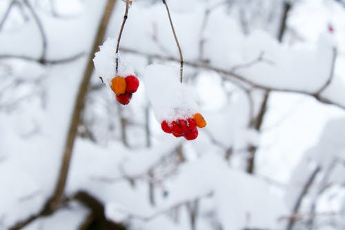 Bokeh Shot of Red Fruit With Snow
