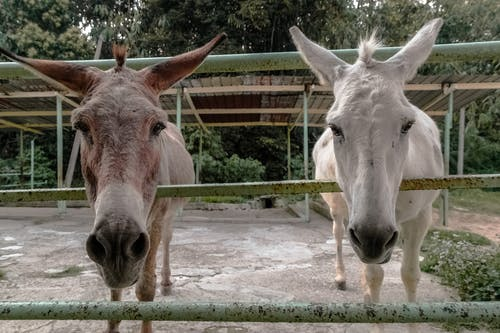 動物, 耳朵, 驴, 骡子 的 免费素材照片