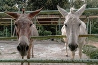 animal, ears, nose