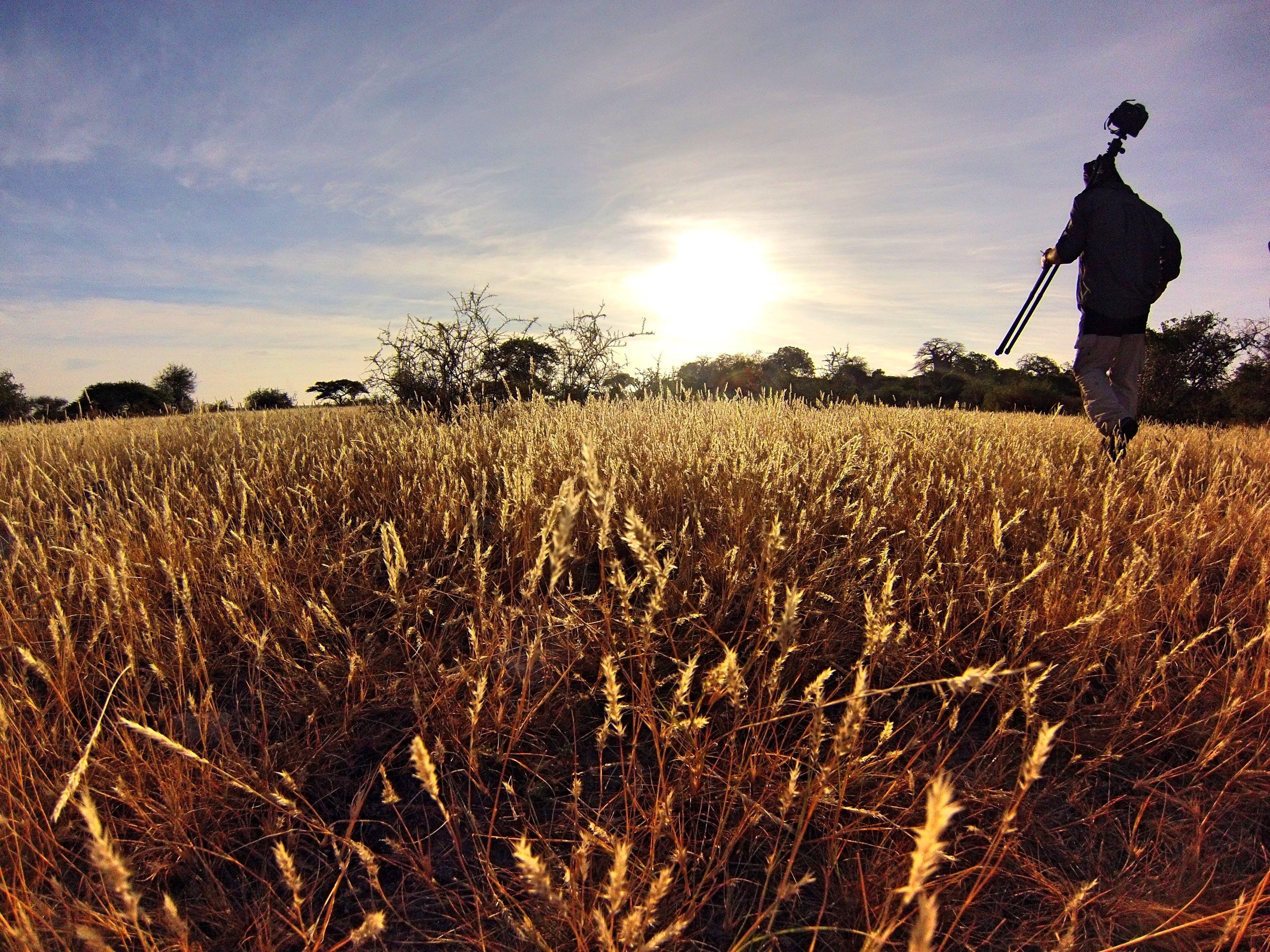 Man in Black Long Sleeve Shirt Holding Camera Tripod Walking on Wheat Fields at Daytime