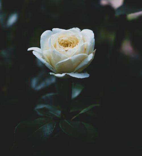 バラの壁紙, バラの背景, フローラの無料の写真素材