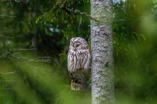 Ingyenes stockfotó állat, bagoly, erdő témában