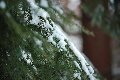 Gratis stockfoto met bevroren, boom, boomtakken, dennennaald