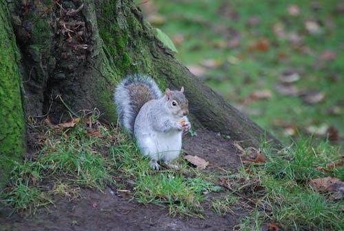 動物, 天性, 松鼠, 灰色的squirrell 的 免费素材照片