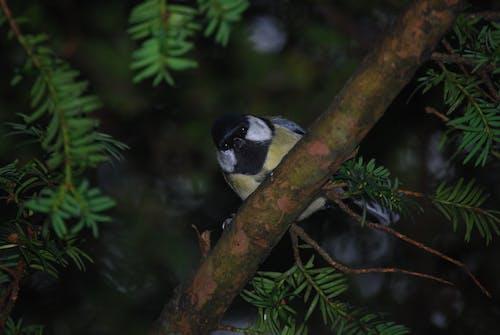 分公司, 在树中的鸟, 天性, 松針 的 免费素材照片