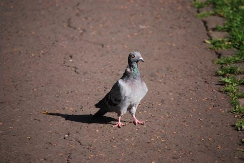 丑陋, 丑陋的鸟, 動物, 城市鸟 的 免费素材照片