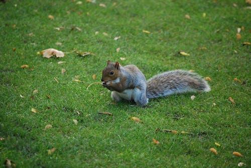 動物, 吃, 天性, 松鼠 的 免费素材照片