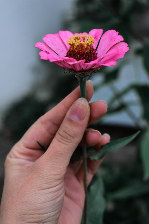 A Person Holding a Zinnia Flower
