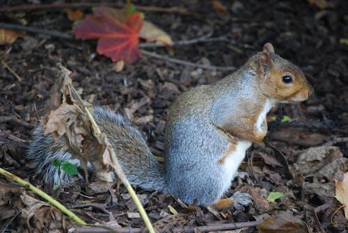 squirrell, 動物, 地面, 塵土 的 免费素材照片