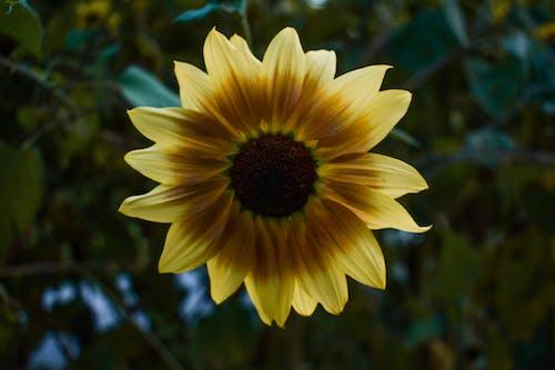 A Close-Up Shot of a Sunflower