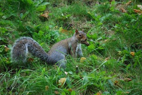 動物, 天性, 松鼠, 綠色 的 免费素材照片