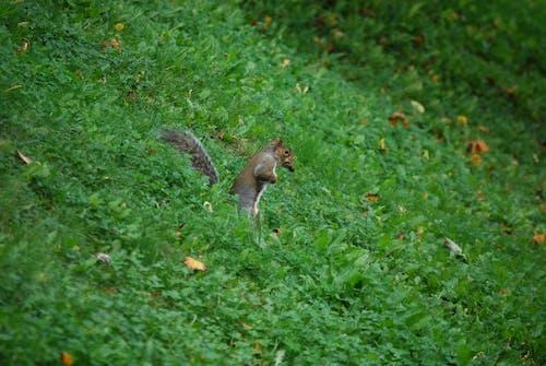 動物, 堅果, 天性, 松鼠 的 免费素材照片