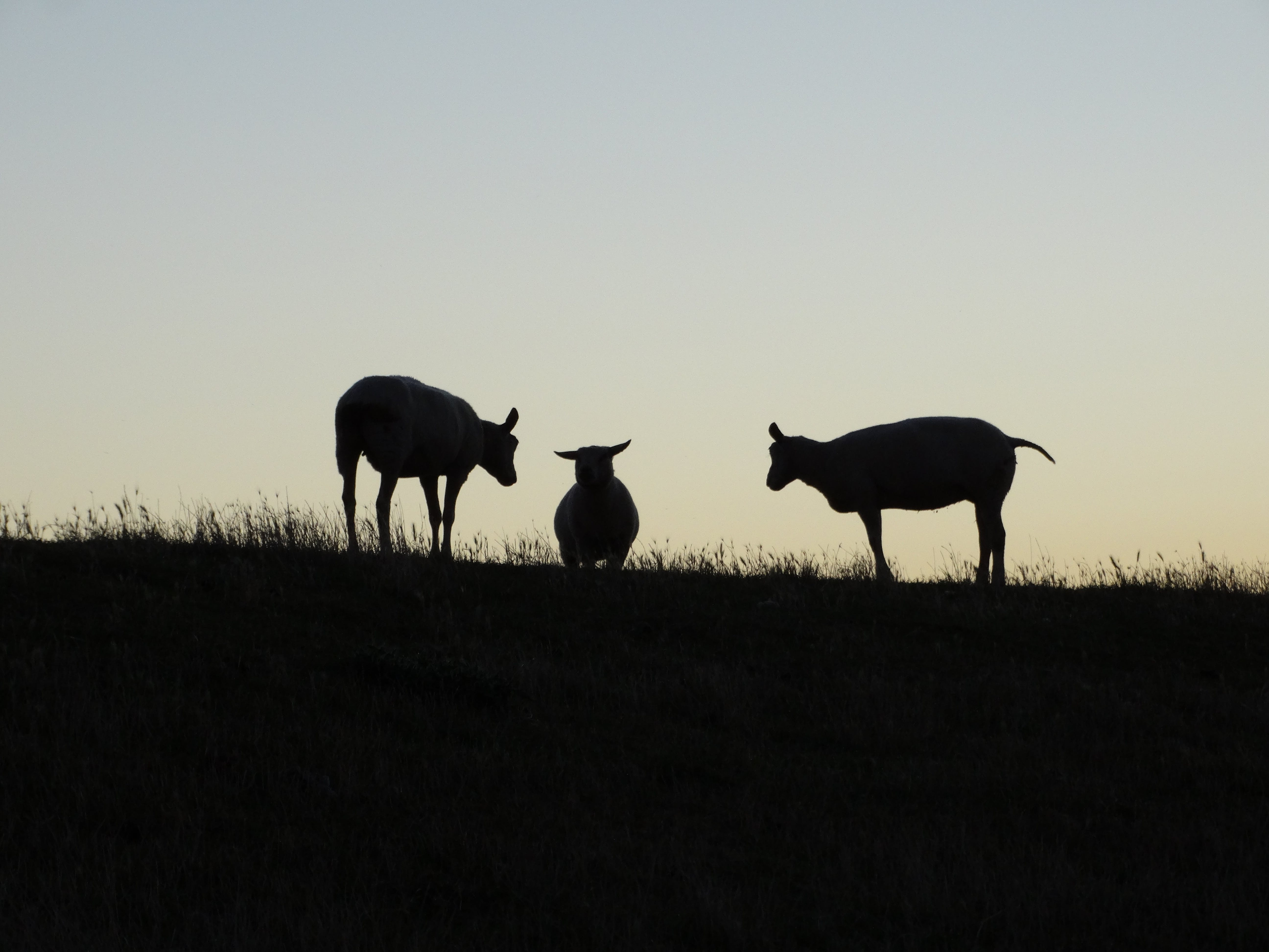 Free stock photo of sheep, #minimalism, #meeting, #texel