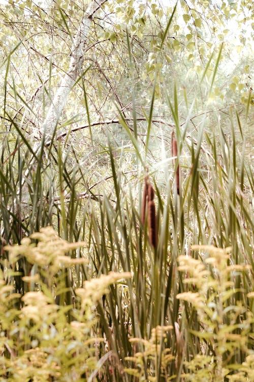 ガマ, 早朝, 沼地の無料の写真素材