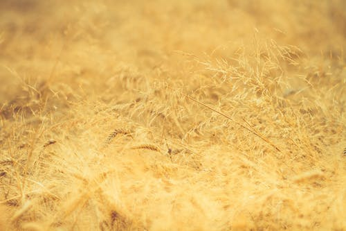 Free stock photo of blurry, crops, golden, harvest