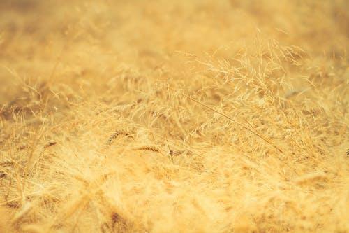 Ingyenes stockfotó anyatermészet, aranysárga, aratás, életlen témában