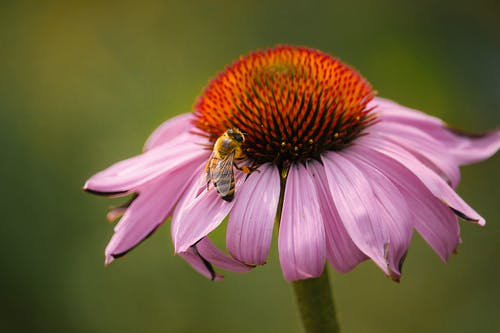 A Close-Up Shot of a Bee Pollinating on a Flower