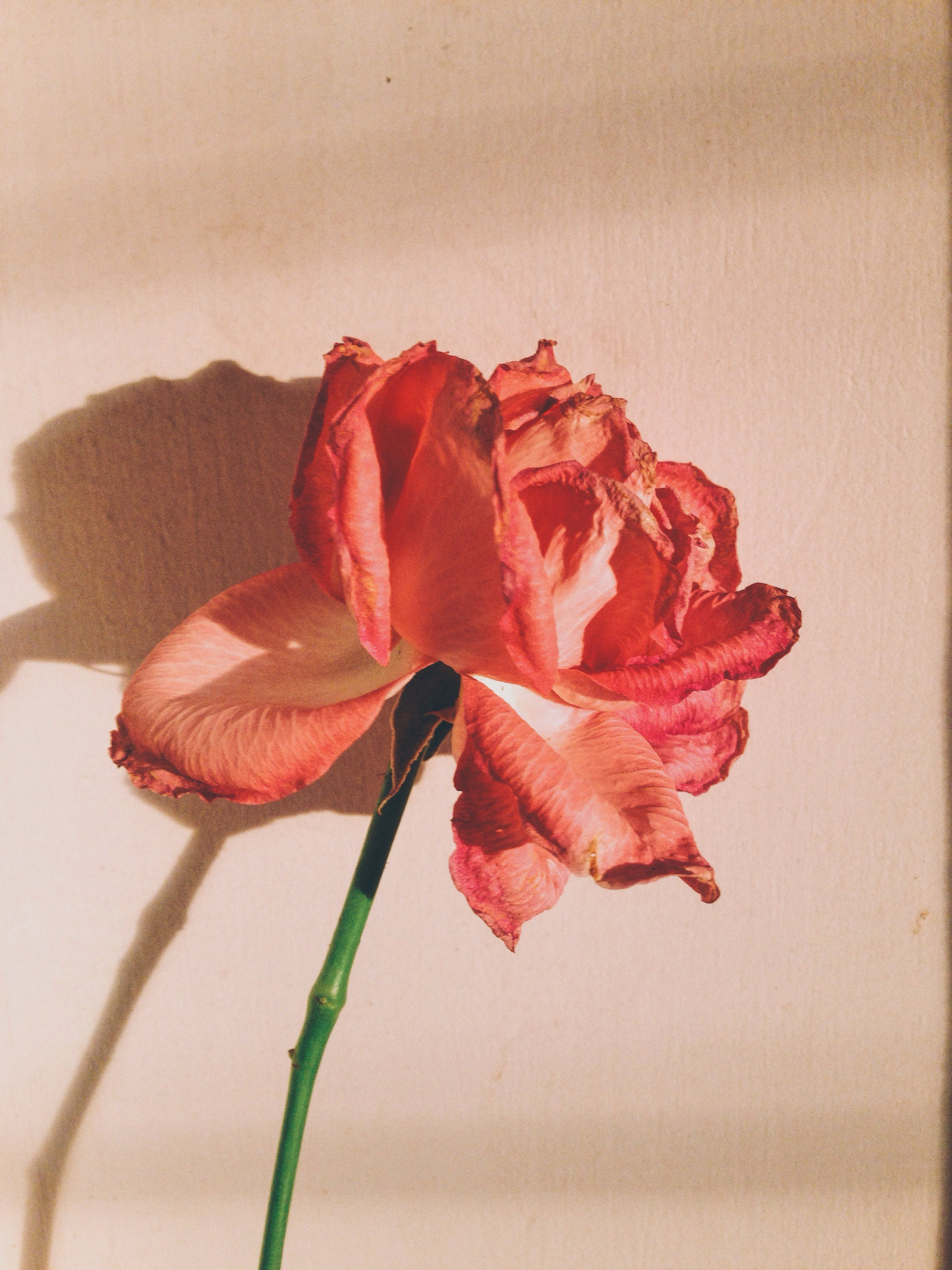 Free stock photo of amateur, dawn, flower, rose
