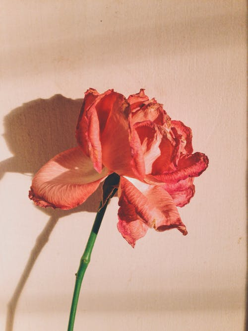 Безкоштовне стокове фото на тему «зроблено смартфоном, квітка, любитель, Світанок»