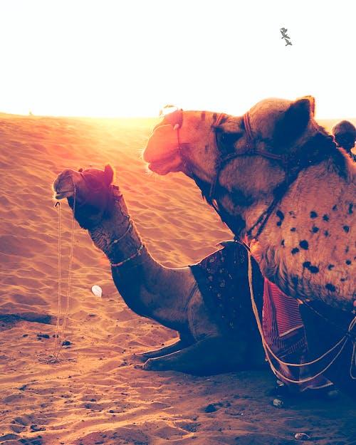 낙타, 낙타 사파리, 사막의 무료 스톡 사진