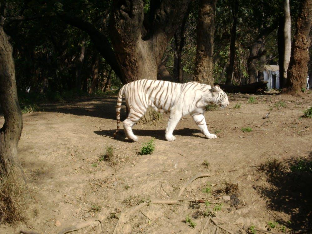 Free stock photo of white bengal tiger