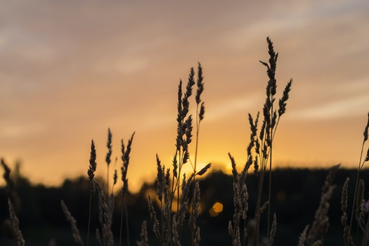 Brown Wheat during Sunset
