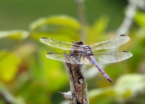 Foto profissional grátis de inseto, libélula