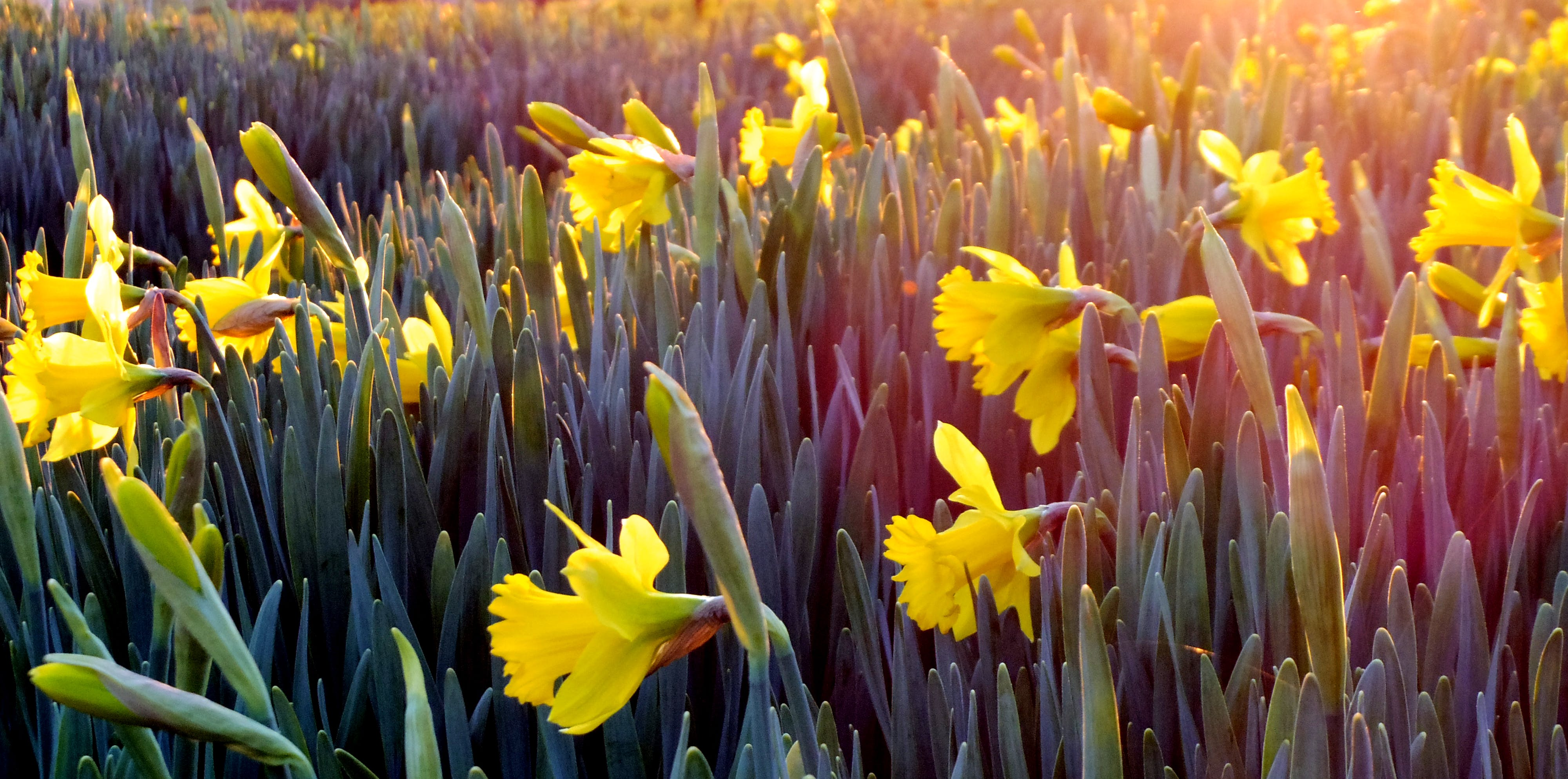 Landscape Photography of Field Covered With Yellow Flowers