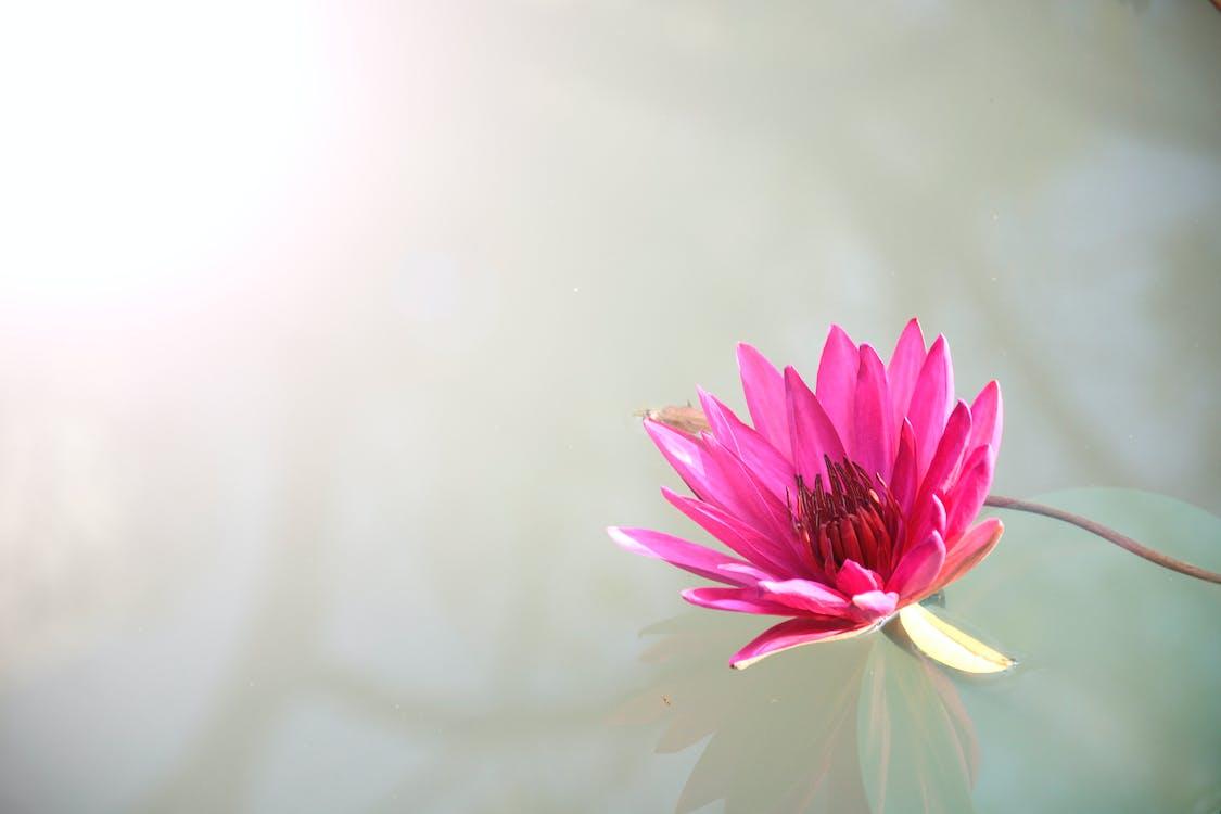 Pink Lutos Flower