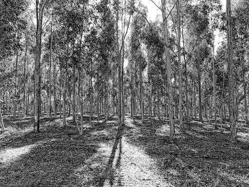 Gratis arkivbilde med svart-hvitt, trær