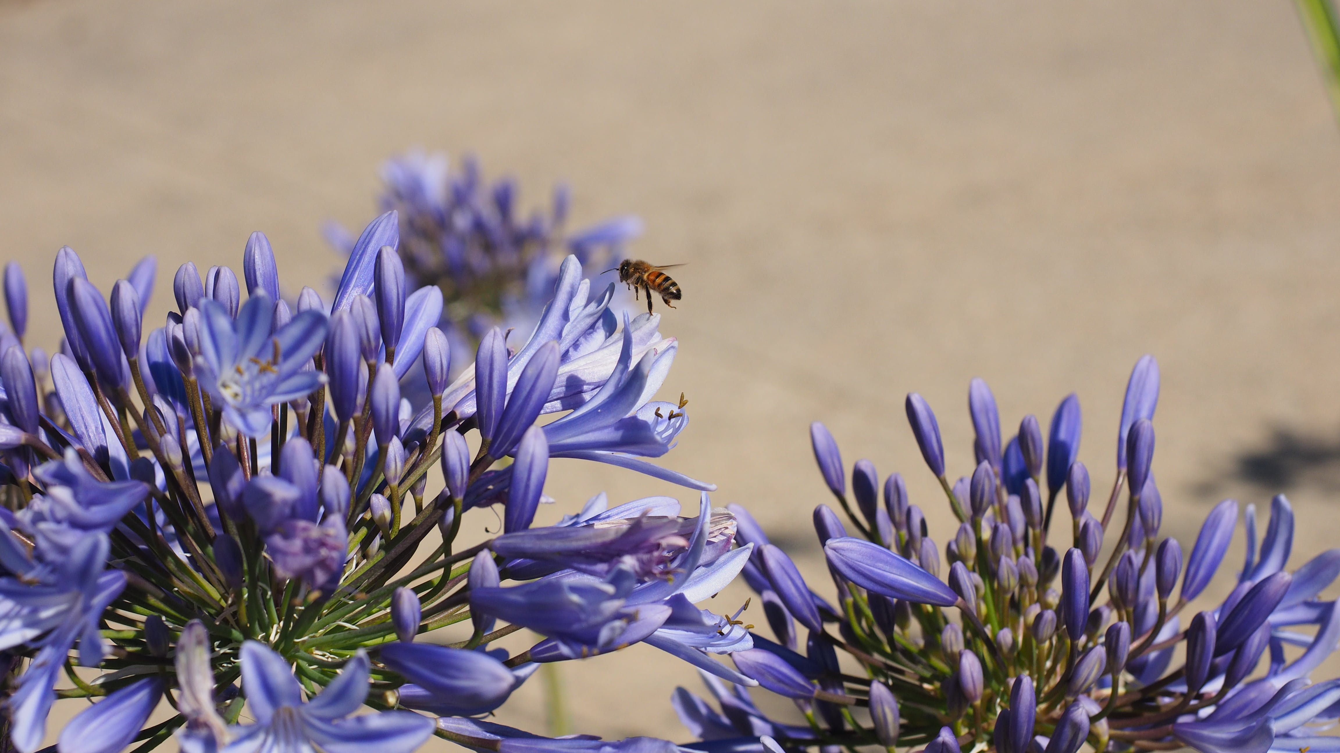 Free stock photo of agapanthus, bee, flower