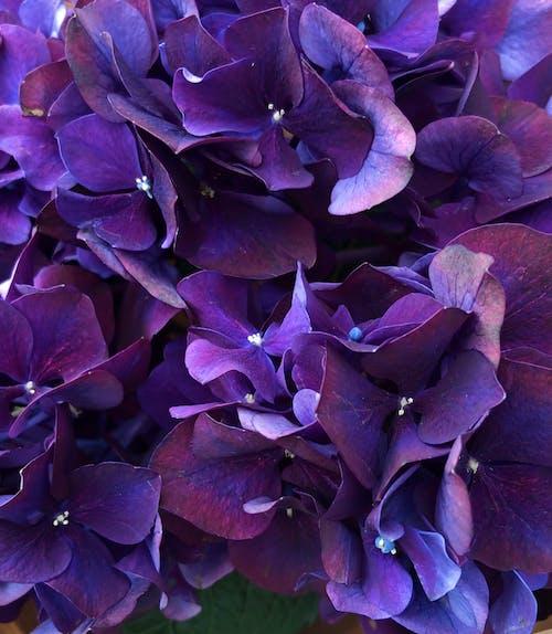 Ảnh lưu trữ miễn phí về cánh hoa, cây tú cầu, đẹp