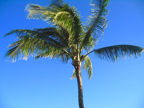 Free stock photo of Palm Tree Blue Sky