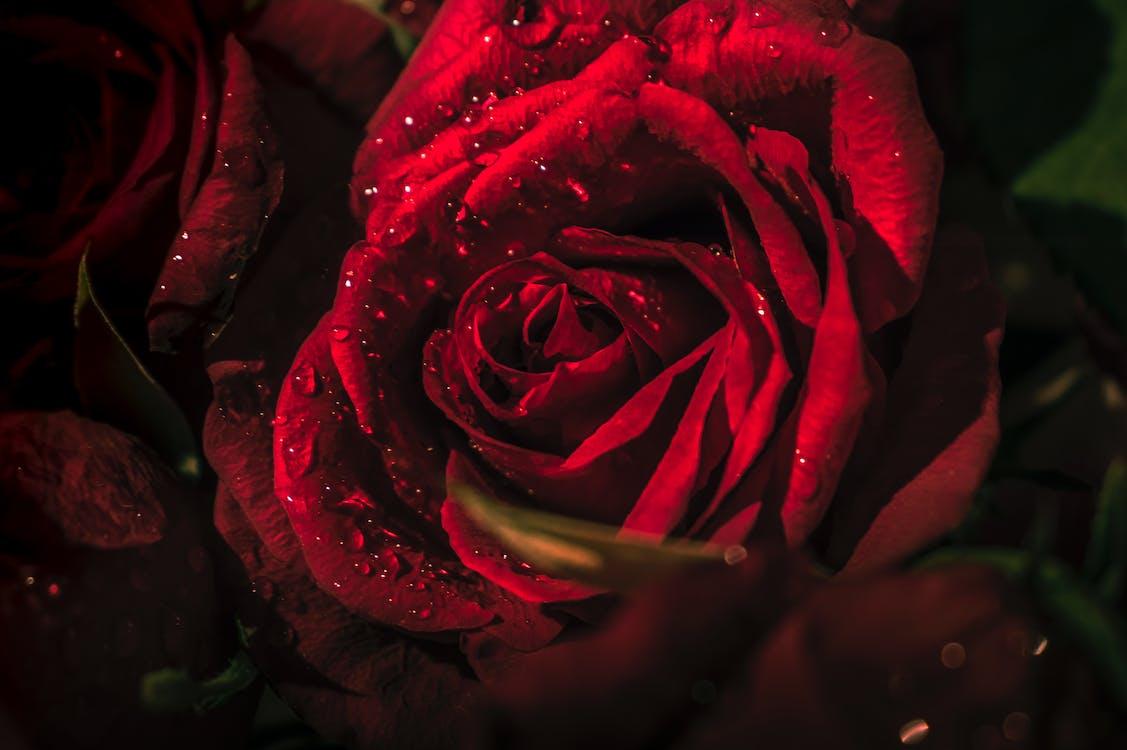 Ilmainen kuvapankkikuva tunnisteilla punainen ruusu, ruusu