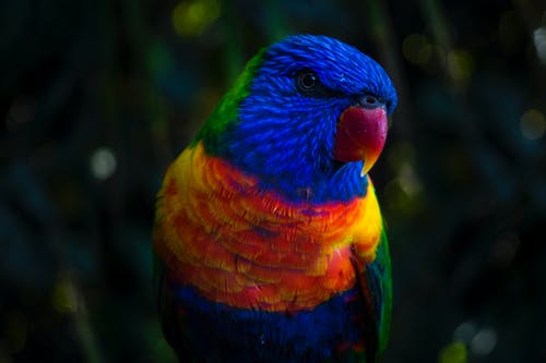 Fotobanka sbezplatnými fotkami na tému detailný záber, farebný, makro, papagáj