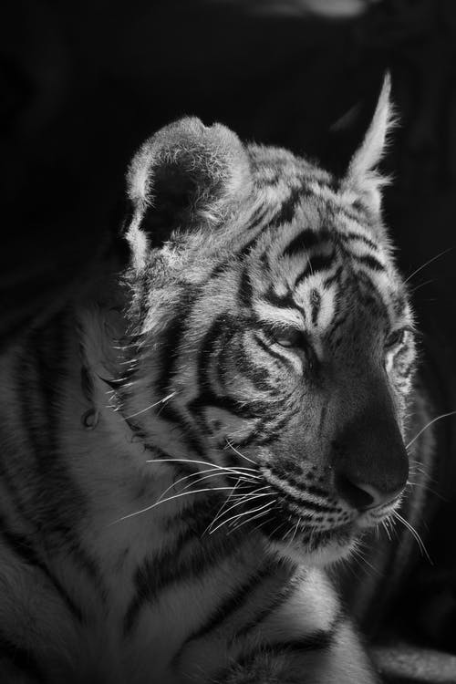 Grayscale Photo of a Tiger