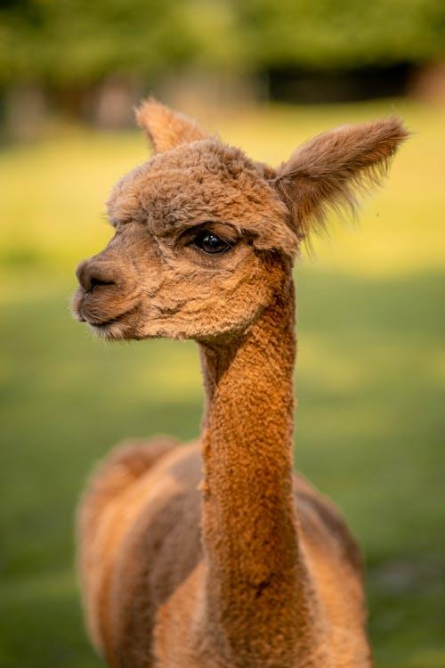 A Cute Brown Alpaca in Close Up Photography