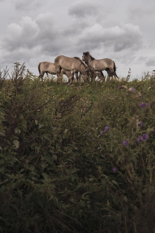 Free stock photo of horse, horses, przewalski horse